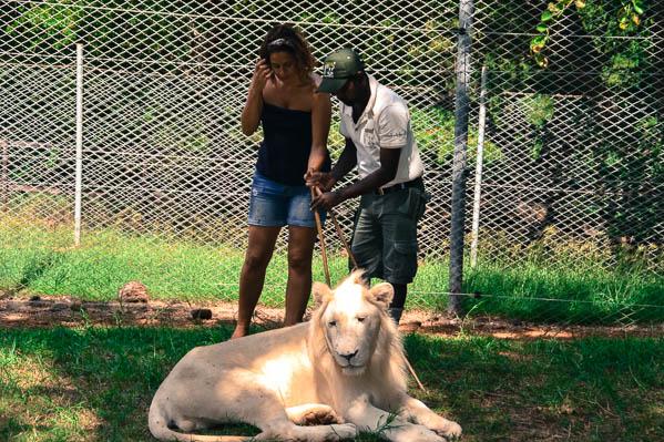 Marche avec les lions au Parc Casela