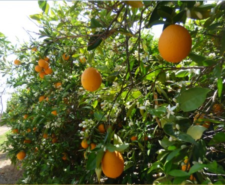 Le Fruitpicking : cueillir des fruits en Australie