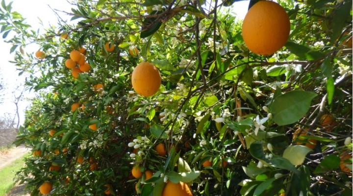 Le Fruitpicking : cueillir des fruits en Australie