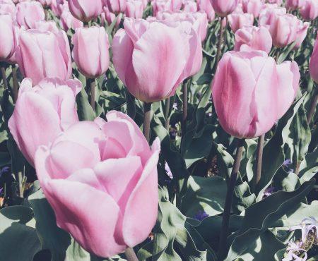 Escapade fleurie et gourmande à 20 minutes d'Amsterdam