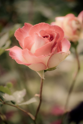 rose-journee-de-la-femme